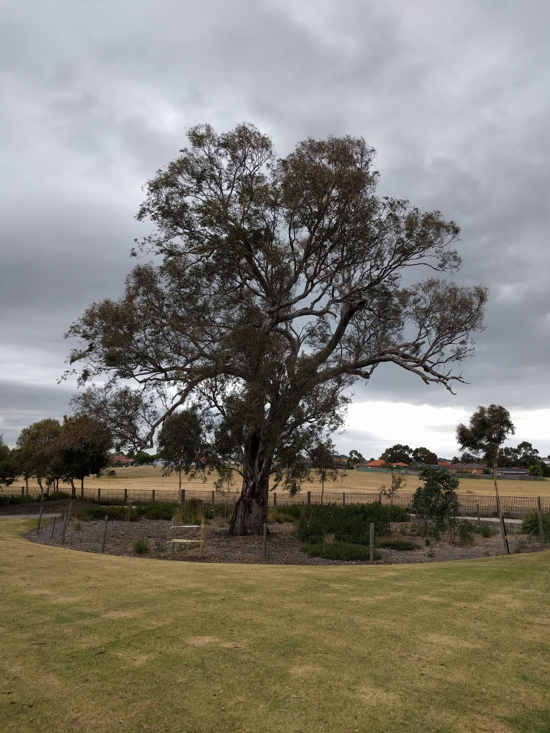 Large-Gum-Tree.jpg